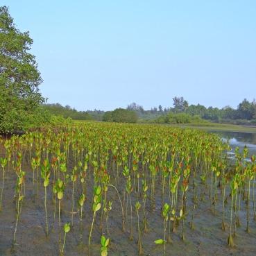 mangrove-249920